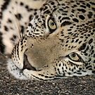 A cosy young leopard(It`s nice and cool on the tar!) by jozi1