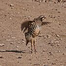 Chucker Partridge Pirouette  by CarolM