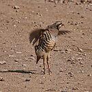 Chucker Partridge Pirouette  by CarolM
