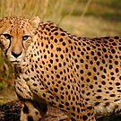 Cheetah 2 by Robin Black