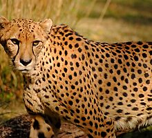 Cheetah 2 by Robin Lee