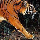Tiger Tracks by Robin Black