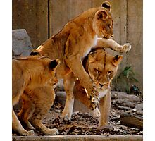 Playful Cubs Photographic Print