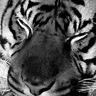 Tiger Face (B&W) by Robin Black