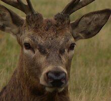 Oh Deer by Sandra Caven