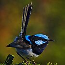card - superb fairy wren by col hellmuth