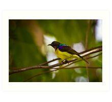 Brown-throated Sunbird (Anthreptes malacensis) Art Print
