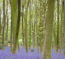 Bluebell Woods, Micheldever Forest by Andrew Duke