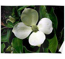 Dogwood Flower Poster