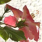 Averted Hibiscus by Glenn Cecero