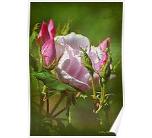 Textured Pink Rose & Buds Poster