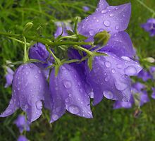 Raindrops on the Canterbury Bells by Tracy Faught