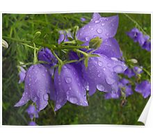 Raindrops on the Canterbury Bells Poster