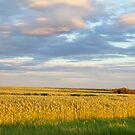 Wheat Field - Grande Prairie, Alberta by mattnnat