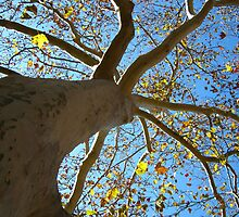 Sycamore Tree by dge357