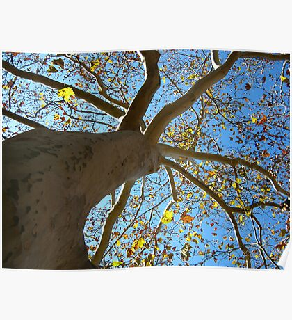 Sycamore Tree Poster