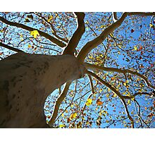 Sycamore Tree Photographic Print