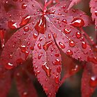 Japanese Maple by Brian Nelson