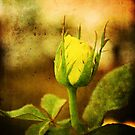 Yellow Bud by Katayoonphotos