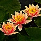 Three orange waterlilies by cclaude