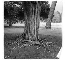 Tree Roots, Phoenix Park Visitor Centre Poster