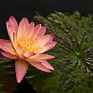 Orange waterlily by cclaude