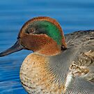 Green winged teal profile  by Daniel  Parent