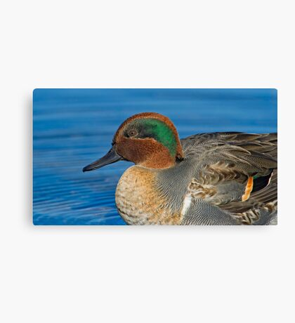 Green winged teal profile  Canvas Print