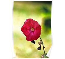 Mallow Flower Poster