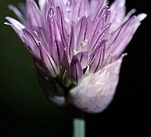 onion chive flower by Clare Colins