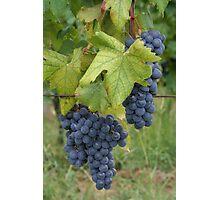 An Italian Vineyard Photographic Print