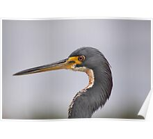 Portrait of a Tri Color Heron Poster