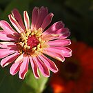 Zinnia Light and Dark by Linda  Makiej