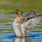 Wing flapping teal by Daniel  Parent