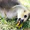 Ducks, geese & goslings $20 Voucher