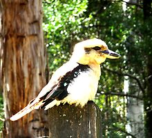 Kookaburra  by michaeldeath