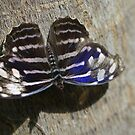 Blue, Black and White Butterfly  by Paula Betz