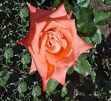 Orange Rose... by Photos55