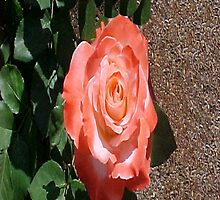 Another Orange Rose... by Photos55