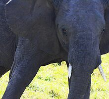 Young Elephant by Jill Fisher