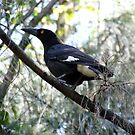 Currawong A1 - The Beak by Paul Todd
