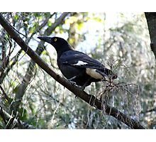 Currawong A1 - The Beak Photographic Print