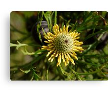 Australian Wild Flower 6 Canvas Print