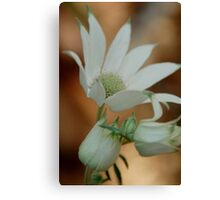 Flannel Flower 6 Canvas Print