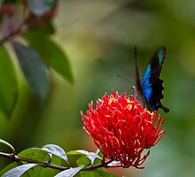 Blue Swallowtail Butterfly by Normf