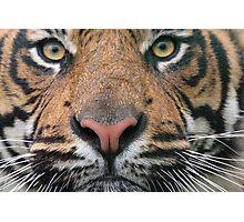 Tiger Tiger!! Photographic Print