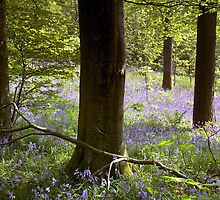 Bluebells in Clapdale Wood - The Yorkshire Dales by Dave Lawrance