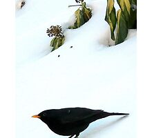 Blackbird in winter garden by Alan Kenny