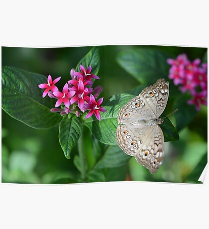 Beige Butterfly on Resting on Pentas Poster