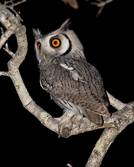 Southern White Faced Owl by Michael  Moss